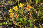 Yellow Saxifrage (Saxifraga aizoides)